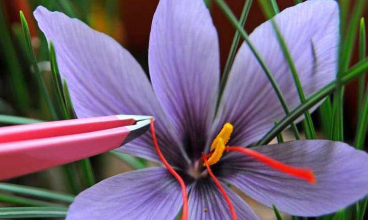 Saffron_1 (1)-min
