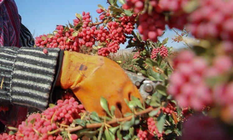 barberry harvest