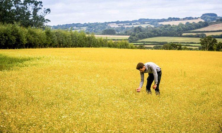 harvesting-chamomile-plants-2-min