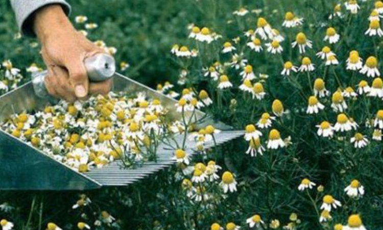 harvesting-chamomile-plants-min